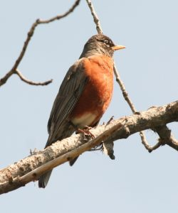 American Robin Photo by Will Crain