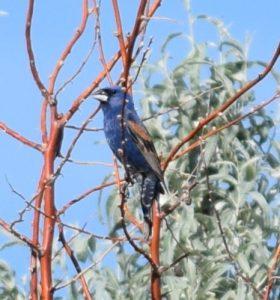 Blue Grosbeak Photo By Will Crain