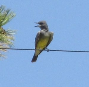 Cassin's Kingbird Photo By Will Crain
