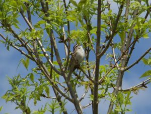 Chipping Sparrow Photo By Deb Regele