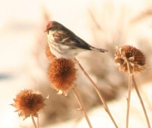 Common Redpoll Photo By Will Crain