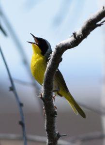 Common Yellowthroat By Will Crain