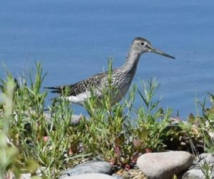 Greater Yellowlegs Photo By Will Crain