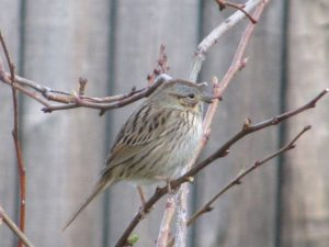 Lincoln Sparrow Photo By George Mowat