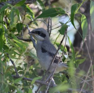 Loggerhead Shrike Fledgling Photo By Will Crain