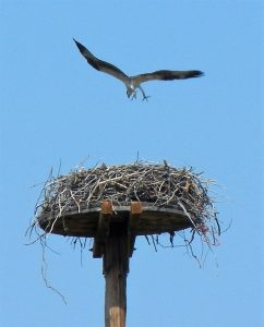 osprey-chick-exercising-wings-by-george-mowat-resized-enhanced