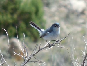 Blue-gray Gnatcatcher By Robert Hill