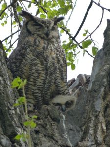 Great-horned Owl and Nestlings Photo By Rebecca Shirley