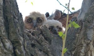 Great-horned Owl Nestlings Photo By Rebecca Shirley