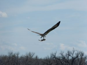 Osprey Delivering Fish Photo By Rebecca Shirley