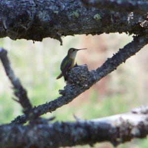 Calliope Hummingbird and Nestlings Photo By Steve Regele