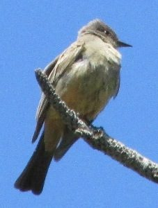 Say's Phoebe Photo By Will Crain