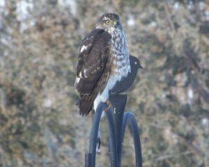 Sharp-shinned Hawk Photo By Deb Regele