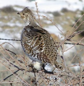 Sharp-tailed Grouse Photo By Will Crain