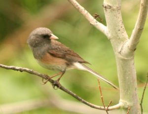 Dark-eyed Junco Photo By Will Crain