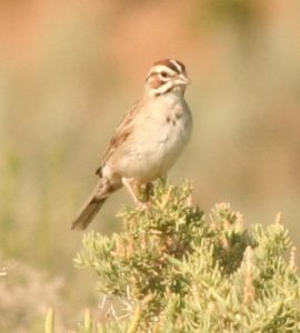 Lark Sparrow Photo By Will Crain