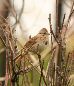 Song Sparrow Photo By Will Crain