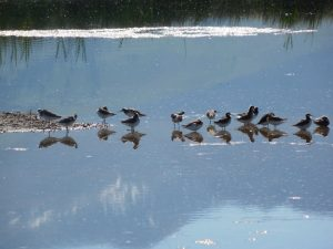 Wilson's Phalaropes Photo By Robert Hill